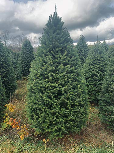 Fresh Cut Real Christmas Tree 7 Foot Balsam Fir Delivered