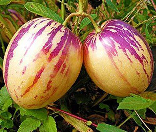 Pepino Melon 70+ Semillas Solanum muricatum Semillas de frutas y verduras para plantas de jardín