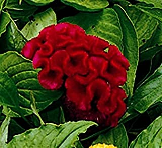 30+ Celosia Red Cockscomb Flower Seeds Mix / Reseeding Annual
