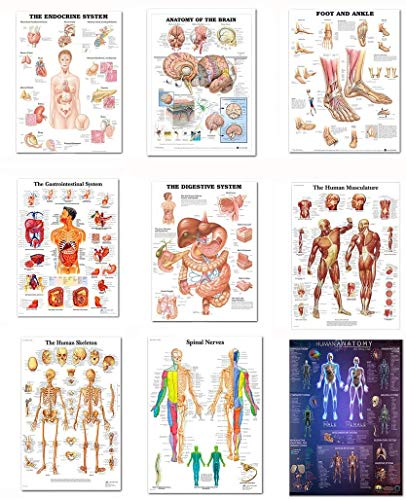 Juego de 9 carteles anatómicos laminados – Muscular, esqu