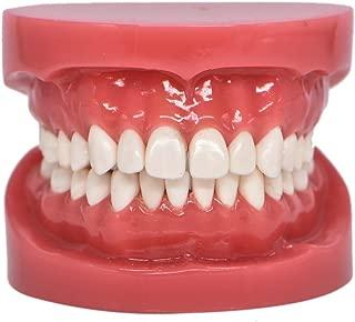 Dental Typodont Standard Teeth Model for Teaching Practice Demonstration Flossing Teeth Model for Study Adult Standard Teaching Model(1 Piece)