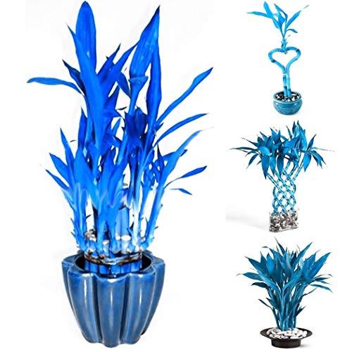 Tomasa Samenhaus- Raritäten 100 Stück Blau Bambus Samen winterhart mehrjährig Pflanzen Saatgut Exotischen Stil Bonsai Bambus Dekorative für Balkon, Garten