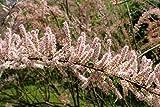 Frühlings-Tamariske Tamarix parviflora Pflanze 5-10cm kleinblütige Tamariske