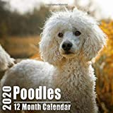 Poodles Small Calendar 2020: Cute Poodle Photos Mini Monthly Calendar With Inspiritional Quotes each Month   Small Size 8.5x8.5 inches