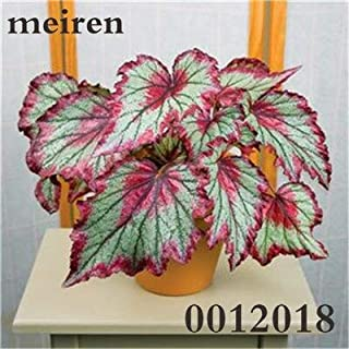 Ponak New 200 pcs Begonia Leaf Plant Seeds for Beautiful Gardening Green red