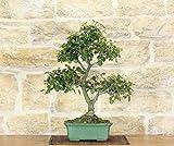 bonsai di quercia - leccio (49)