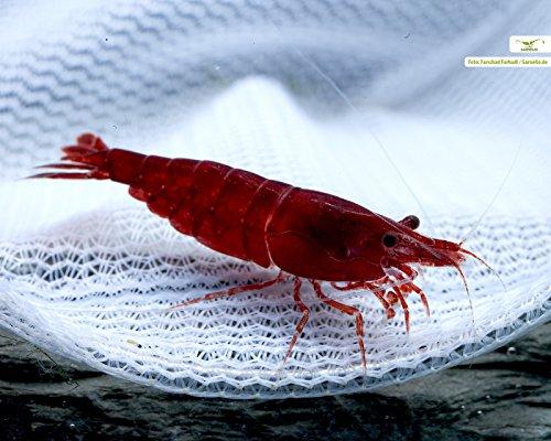Garnelen Bloody Mary, 10 Stück & 3 NH Mainpuddingballs/Seltene Hochzuchtgarnele fürs Nano Aquarium