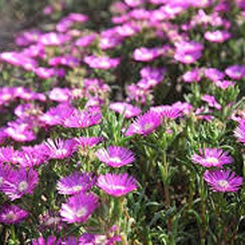 ADOLENB Garten Samen - Sternenstaub Blumensamen, Eis-Pflanze. Delosperma Edelrosen, saftiges Laub, helle blüht sehr anpassungsfähig an Wärme, Feuchtigkeit und Trockenheit