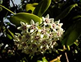 1 PIANTA Hoya Australis Fiore di Cera Vaso 12CM Perenni