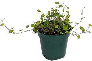 Biblical Angel Vine - Muehlenbeckia - Houseplant/Terrarium/Fairy Garden-2.5