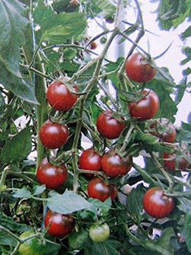 Dunkelrote Cocktailtomate \'Black Sweet Cherry\' (Solanum lycopersicum) 10 Samen