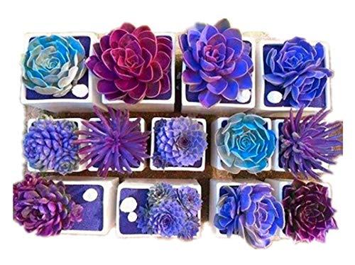 KINGDUO 200Pcs Echeverione Suculentas Semillas Mixtas Color Jardín Macetas Bonsai De Deco Hogar De Semilla De Flor