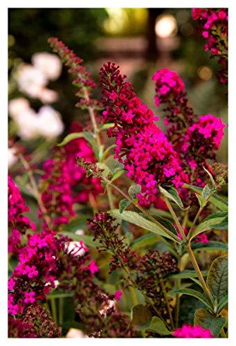 Buddleja davidii - Planta de 9 cm, color rojo