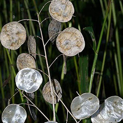 6 x Lunaria Annua - Zweijähriger Silberling Kleincontainer 9cm x 9cm