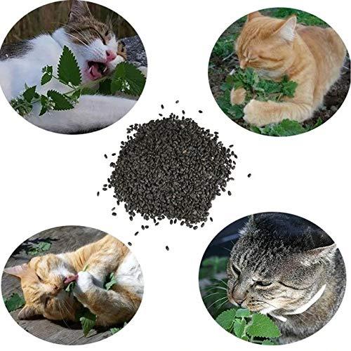 Semillas de Catnip Nepeta Cataria 120 Semillas de Hierba
