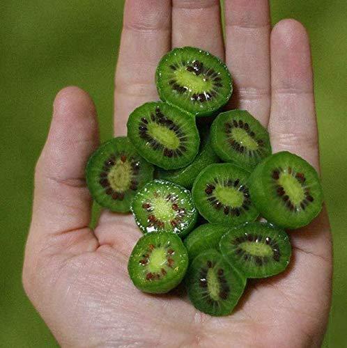 DaFFeng ?100 Unids/Bolsa Mini Kiwi Berry Semillas C¨®ctel Especial Miniatura Kiwi Berry Hardy Actinidia Arguta Semillas De Frutas Primavera Bonsai Planta Para Patio Jard¨ªn