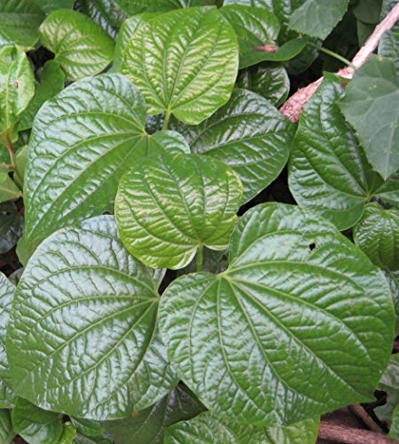 ~LALOT~ Piper Sarmentosum WILD BETEL LEAF Culinary SPICE Thai Live Potted Plant