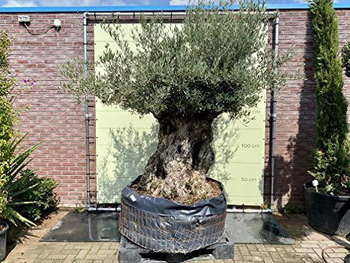 Olivenbaum Olea Europea winterhart, stammumfang 180/230cm, knorriger alte Stamm, Höhe ca.260cm…