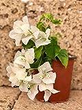 Pianta Bouganvillea Vaso 18cm (mix colori)