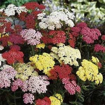 Milenrama (Achillea Millefolium) - Verano en colores pastel Mix - 50 semillas