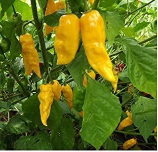50 Yellow Ghost Pepper Bhut Jolokia seeds Chili Heirloom RARE EXTREMELY HOT!