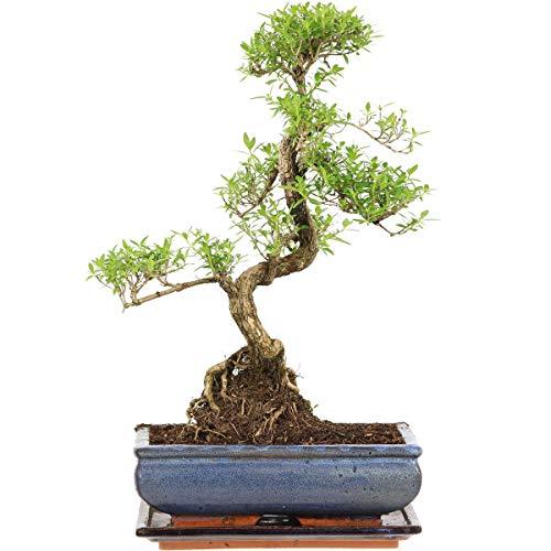 Junischnee, Bonsai, 11 Jahre, 44cm