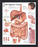 The Digestive System, Wall Decor Poster and Frame, Educational Art for Offices