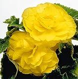 FASH LADY Samen-Paket: Knollenbegonie Seed New Star Yellow Doppel Summers Neuerscheinung