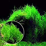 TENGGO Egrow 200PCS/Pack Moss Live Aquatic Plants Semillas Acuario Agua Bonsai Flor Paisaje Paisaje Adorno - 1
