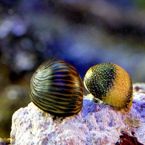 (海水魚 貝 無脊椎)海洋性カノコガイ Sサイズ コケの掃除(3匹) 本州・四国限定[生体]