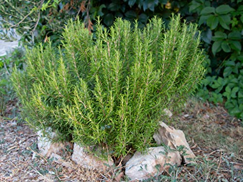 KRAIDO - Semillas de Romero (75 semillas) - Salvia Rosmarinus