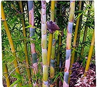 oldhamii bamboo for sale