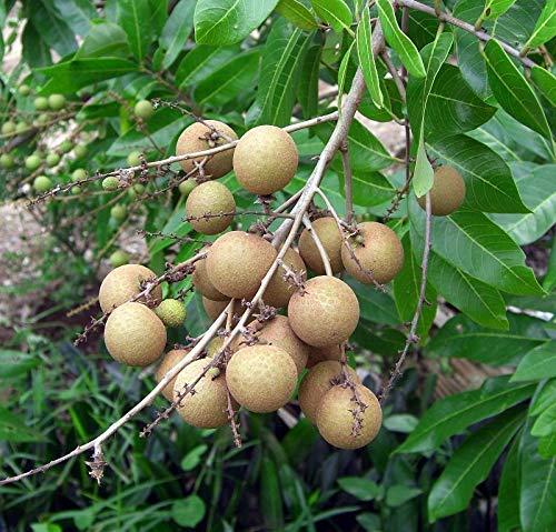 Longan Dimocarpus longan Pflanze 5-10cm Longanbaum Euphoria longana Rarität