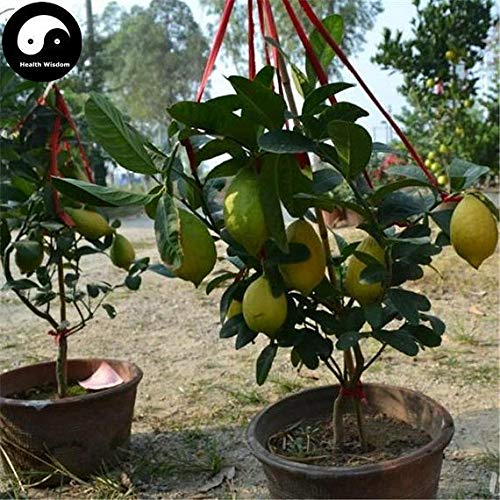 PLAT FIRM Germination Les graines: 40pcs: Acheter Citrus Limon Fruit Graines Culture Lemon Tree orange pour fruits Ning Meng