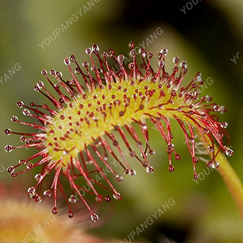 50 PCS/Paquet Graines de plantes insectivores Potted Dionaea géant Clips Dionée Graines Plante carnivore Livraison gratuite Blanc