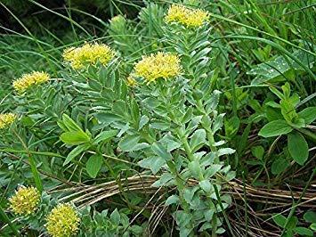 Potseed Keimfutter: 50 Samen - Rhodiola rosea (Rosenwurz) - W/Tracking-