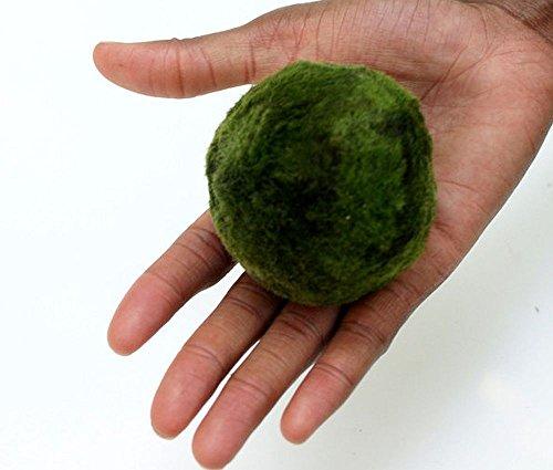 Biotope Aquatics Ltd 2x extra large da 5a 7cm Marimo Moss Ball–Live acquario acquatico Fish Tank Luffy Plant Cladophora–ammoniaca