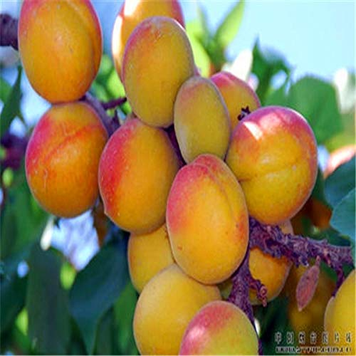 Pinkdose New Home Garden Plants 2 Fresh Apricot Tree Fruit Semillas