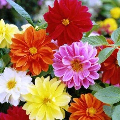 Dahlia Unwins Literie Mix Graines de fleurs (Dahlia variabilis) 50 + Graines