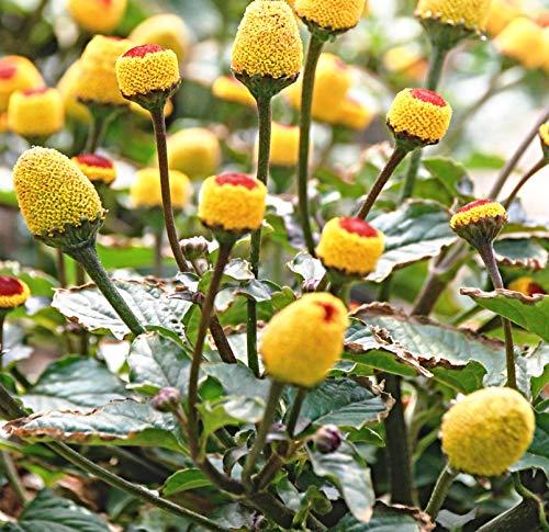 100 Zahnwehpflanze Samen, Toothache plant, Spilanthes oleracea, wie Brausepulver RAR