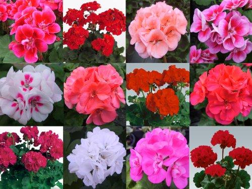 10 Geranium Zonal Plug Plants Mixed Collection - Plugplants4u