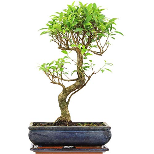 Ficus, Bonsaï, 12 ans, 51cm