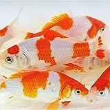 Toledo Goldfish Live Sarasa Comet Goldfish for...