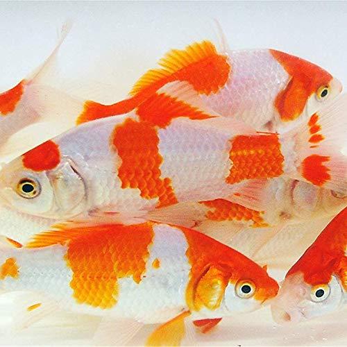 pond fishes Toledo Goldfish Live Sarasa Comet Goldfish for Ponds, Aquariums or Tanks – USA Born and Raised – Live Arrival Guarantee (3 to 4 inches, 25 Fish)