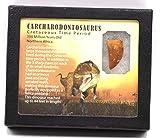 "Carcharodontosaurus Dinosaur Tooth 1.302"" Fossil African T-Rex MDB #15387 14o"