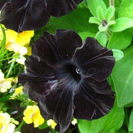 100pcs / sac d'escalade Mandevilla graines Sanderi, graines de DIPLADENIA, Bonsai Fleur des plantes pour la décoration maison et pot mur de la cour 9