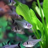 (熱帯魚)ブラックファントム(約3cm)<10匹>[生体]