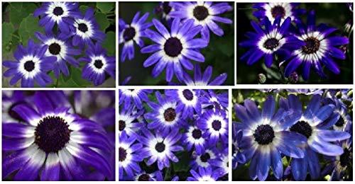 HOCH KEIMUNG Seeds Nicht NUR Pflanzen: Senetti Peric Jährliches Blumen PurpleWhite Farben Sehr recht 100 Samen