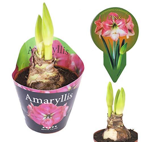 Inter Flower - 1 XL Amaryllis im 12cm Topf Rosa, Zimmerpflanze