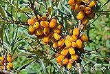 Pianta di Olivello Spinoso Autofertile (varietà FRIESDORFER ORANGE) - Hippophae Rhamnoides